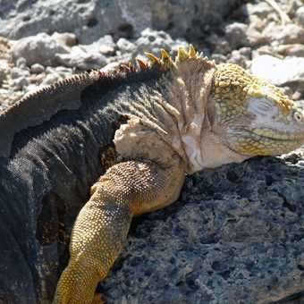 Land Iguana soaking up the last of the later afternoon sun on Isla Plaza.