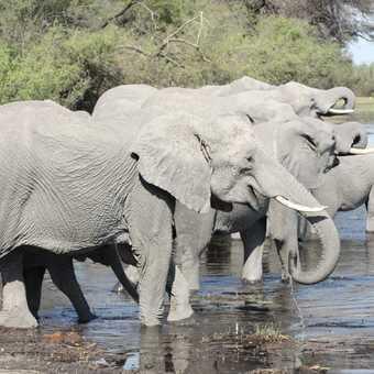 Elephants drinking - Linyanti River