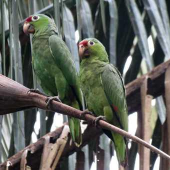 Red-lored Parrots - Las Islas
