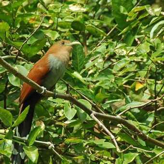 Squirrel Cuckoo Rio Tenorio Costa Rica