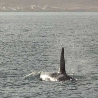 Big Male Orca