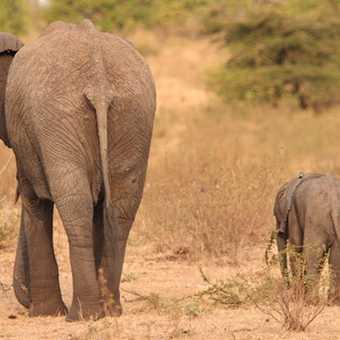 Lion + Warthog, Masai Mara