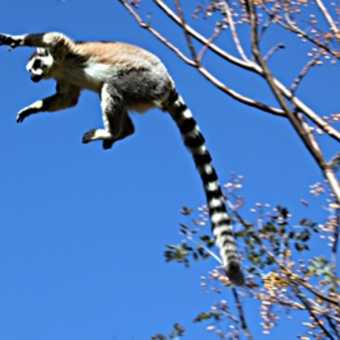 Ringtail jumping