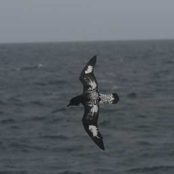 Cape Petrels were frequent companions