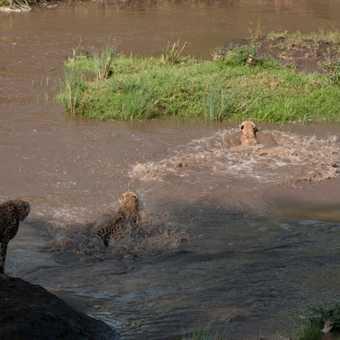 Cheetahs 2