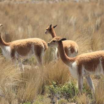 Vicunas, Pampas Geleras reserve