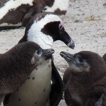 African Penguins at Boulders Beach, Cape Town