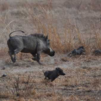 Mother warthog chasing away her children