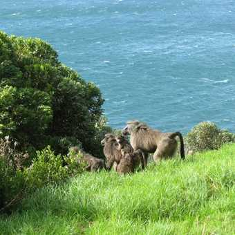 Cape Town Baboons
