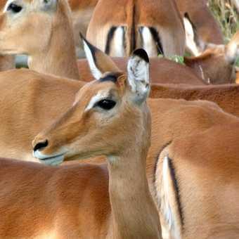 Female Impala