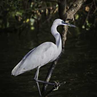 Egret on Nile