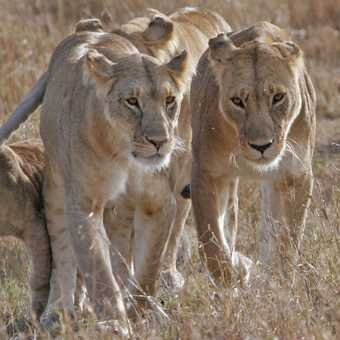 Lion pride with cub hanging onto mothers tail