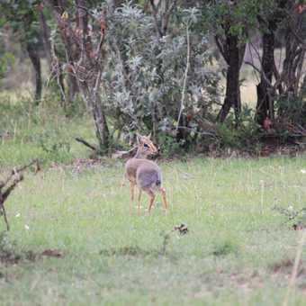 Dik-dik, Masai Mara