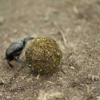 Dung beetle, Lake Nakuru NP