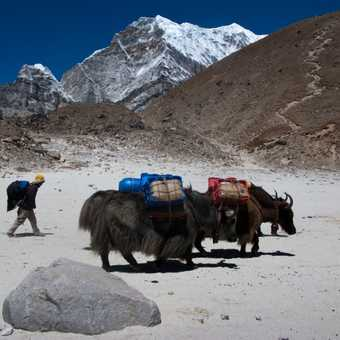 Yaks at Gorak Shep, with path up Kala Pattar in the background