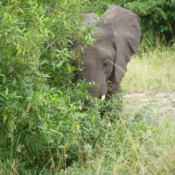 Roadside Elephant Queen Elizabeth NP