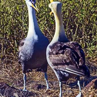 Dancing albatrosses