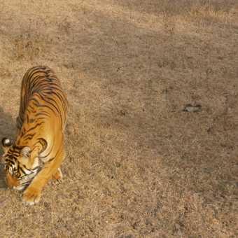 tiger T39