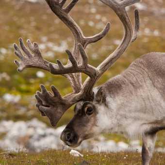 Big Rack - Small Reindeer