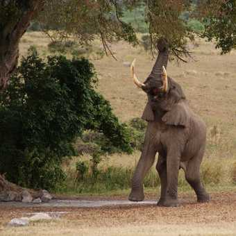 Elephant feeding, Ngorogoro Crater campsite