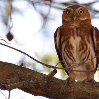 Owl - Pantanal
