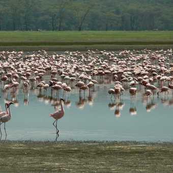 Nakuru Flamingos 2