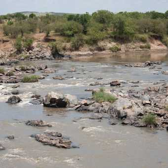 Hippos (Masai Mara)