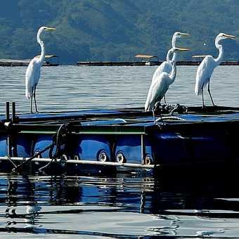 Egrets to the right