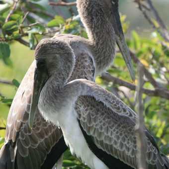 young pelicans
