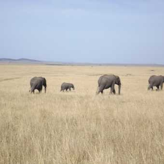 elephants from the masia mara herd