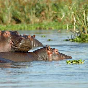 Hippo's Bathing