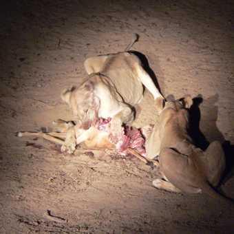 Night Lion Kill of a Puku