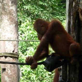 Orangutang at sanctuary