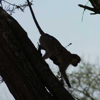 Vervet Monkey, Serengeti NP