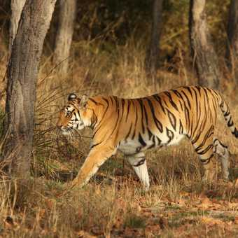 Bengal Tiger disappears into the undergrowth