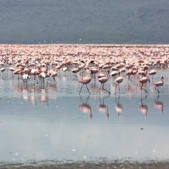 Flamingoes Lake Nakuru