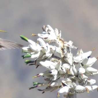 Andries humming bird colca canyon