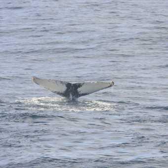 Drakes passage humpback whale flutting