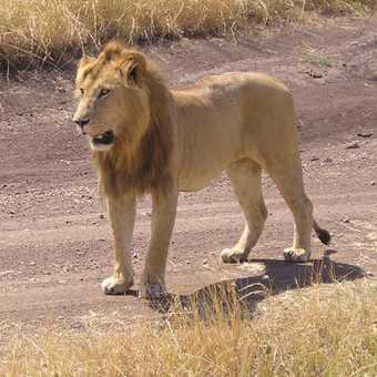 Leo in Kenya
