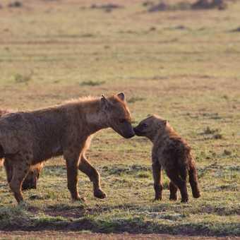 Hyena and pups