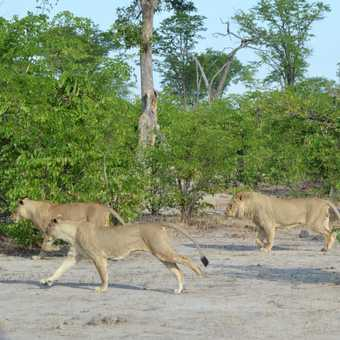 Moremi lions on the move