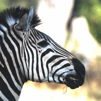 Okavango Delta - Zebra