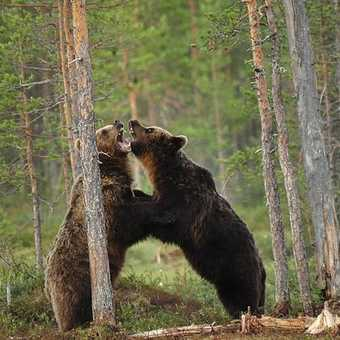 bears fighting in Finland