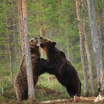 bears fighting in Finland