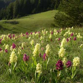 Orchid Meadows near Trigrad