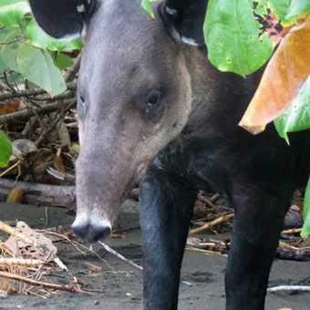 Tapir - Corcovado