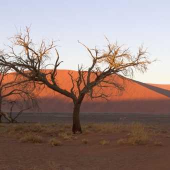 Desert Tree.