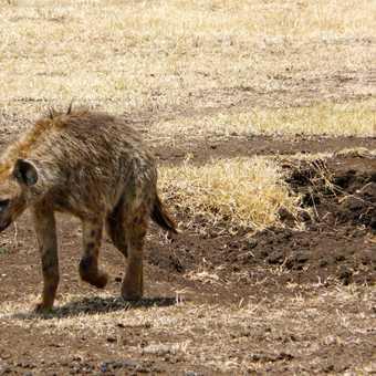 Hyena - Ngorongoro Crater