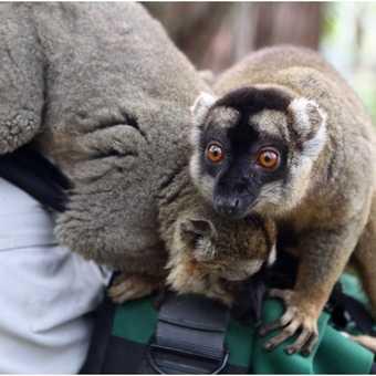 Nosy lemurs
