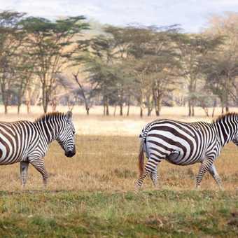 Wandering Zebras - Lake Nakuru